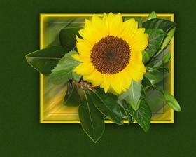 Sunflower  #Summer09
