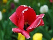 Tulip 'n' Dew
