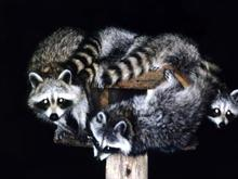 Wild Animal s Raccoon