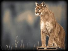 Mau Collection: Cougar