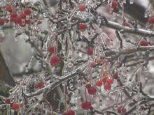 Freezing Rain on Crab Apples