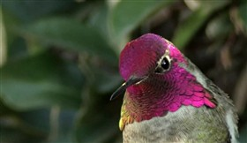 Anna&#39;s Hummingbird