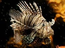 Lion Fish v2