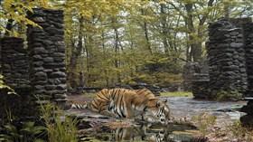 Tiger Lick